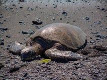 Uma tartaruga de mar verde de descanso na praia preta do ` u de Punalu da areia na ilha grande de Havaí imagens de stock