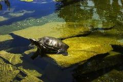 Uma tartaruga do bebê Imagem de Stock