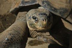 Uma tartaruga dos pagos do ¡ de Galà Fotos de Stock