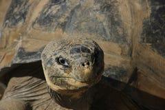 Uma tartaruga dos pagos do ¡ de Galà Imagens de Stock