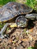 uma tartaruga dos vizinhos Imagem de Stock