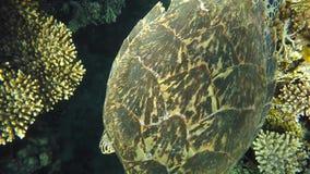 Uma tartaruga enorme nada no fundo do recife de corais bonito, perto das pilhas de peixes pequenos As profundidades fabulosas do video estoque