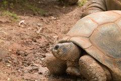 Uma tartaruga gigante Fotografia de Stock Royalty Free