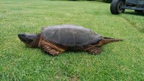 Uma tartaruga gigante em um campo de golfe imagem de stock