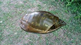 Uma tartaruga indiana anda sobre a grama foto de stock royalty free