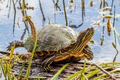 Uma tartaruga na curvatura Texas de Brazos foto de stock royalty free