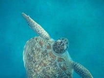Uma tartaruga nada Fotos de Stock