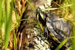 Escalada orelhuda vermelha da tartaruga Fotos de Stock Royalty Free