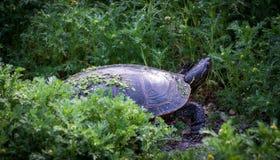 Uma tartaruga pintada em seu habitat natural fotografia de stock