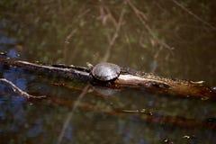Uma tartaruga que toma sol sobre um ramo Foto de Stock