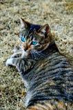 Uma tartaruga Shell Cat Lies na grama Imagens de Stock