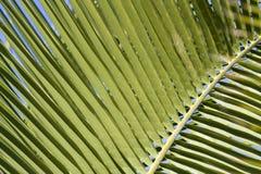 Uma textura de uma palmeira imagem de stock