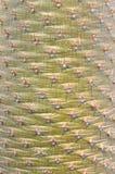Uma textura do cacto Imagens de Stock