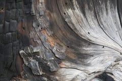 Uma textura queimada do pinheiro imagem de stock