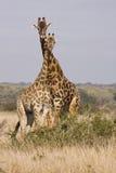 Uma torre dos girafas Fotografia de Stock