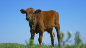 Uma touro-vitela nova está em um prado filme