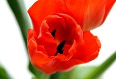 Uma tulipa alaranjada Fotografia de Stock