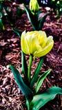 Uma tulipa amarela Imagem de Stock