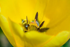 Uma tulipa amarela Imagem de Stock Royalty Free