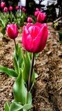 Uma tulipa cor-de-rosa Fotos de Stock Royalty Free