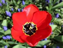 Uma tulipa do vermelho floresce em um jardim da mola Imagem de Stock