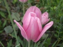 Uma tulipa roxa fotografia de stock royalty free