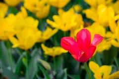 Uma tulipa vermelha na flor completa em um campo de flores amarelas Foto de Stock Royalty Free