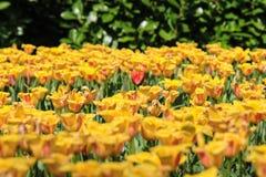 Uma tulipa vermelha que está apenas em um campo de tulipas amarelas Imagem de Stock