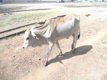Uma vaca Imagem de Stock Royalty Free