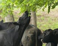 Uma vaca alcanga para as folhas Fotos de Stock