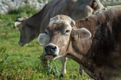 Uma vaca ao pastar foto de stock royalty free