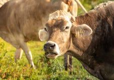 Uma vaca ao pastar fotos de stock