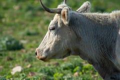 Uma vaca ao pastar fotografia de stock