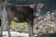 Uma vaca ao pastar fotografia de stock royalty free