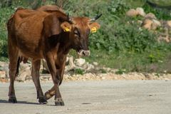 Uma vaca ao pastar imagem de stock
