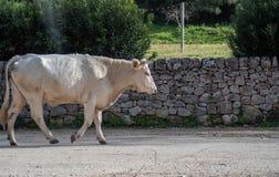 Uma vaca ao pastar fotos de stock royalty free