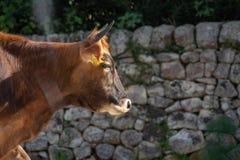 Uma vaca ao pastar imagens de stock