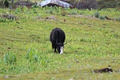 Uma vaca come o vidro em dacheng foto de stock royalty free
