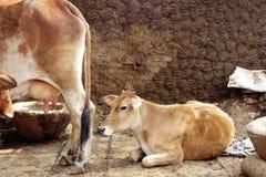 Uma vaca da mãe e sua vitela Imagens de Stock Royalty Free