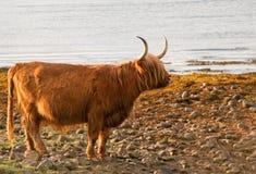 Uma vaca das montanhas por Loch Lomond Fotografia de Stock Royalty Free