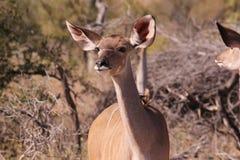 Uma vaca de Kudu Foto de Stock