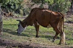 Uma vaca de pastagem Foto de Stock Royalty Free