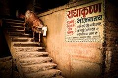 Uma vaca do azevinho Imagem de Stock Royalty Free