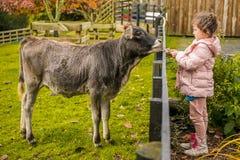 Uma vaca em uma exploração agrícola fotografia de stock