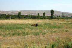 Uma vaca em um campo imagem de stock