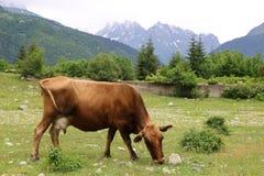 Uma vaca em um prado verde foto de stock royalty free