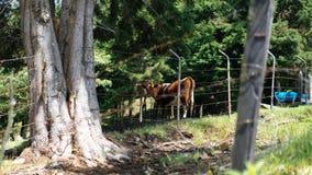 Uma vaca em uma exploração agrícola imagem de stock royalty free