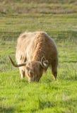 Uma vaca escocesa das montanhas Imagens de Stock Royalty Free