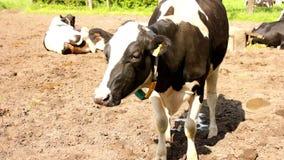 Uma vaca faz xixi vídeos de arquivo