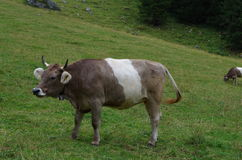 Uma vaca grande Foto de Stock Royalty Free
